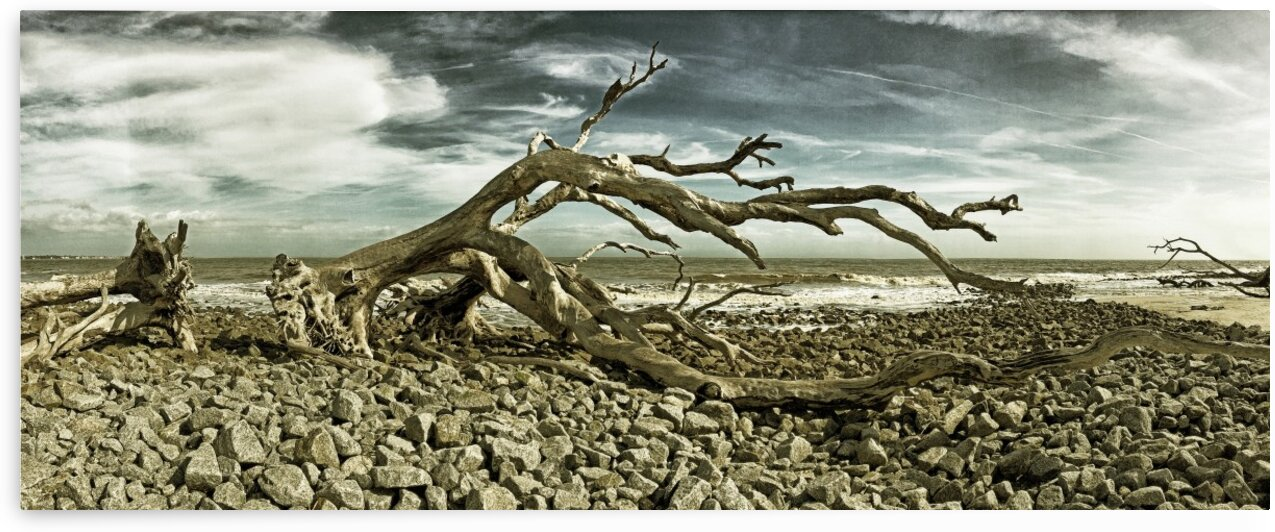 Driftwood Beach Panorama Blackgold by Bill Swartwout Photography