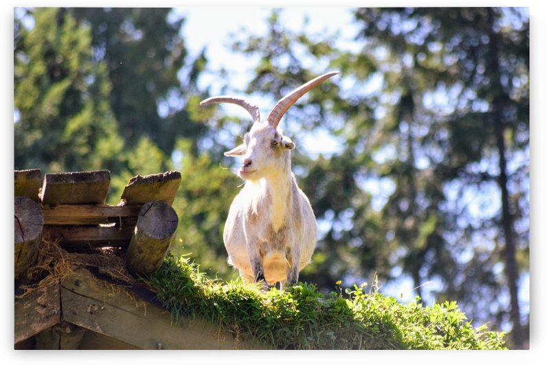 Goats on a Roof Coombs BC by Stuart Spofford