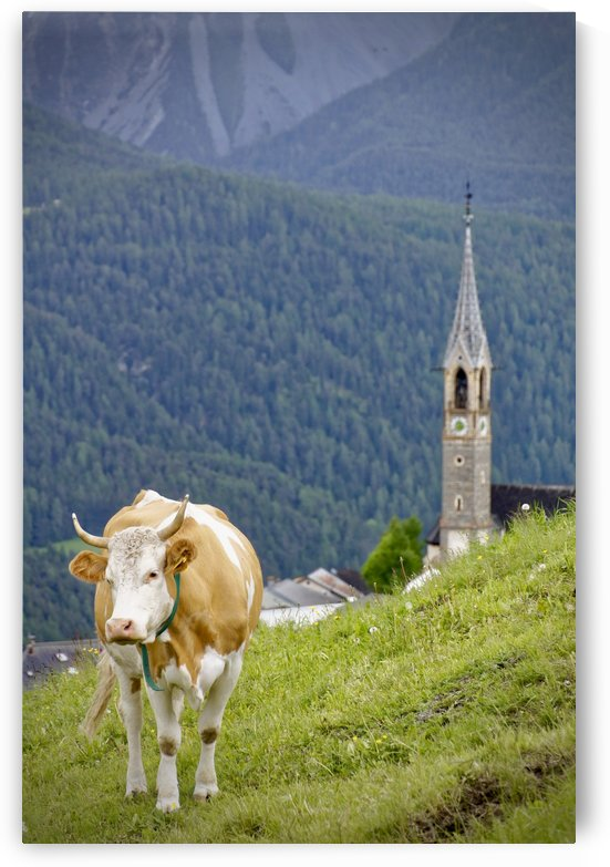 Swiss Cow with Horns in Sent Engadina Graubunden on the Alps  by Swiss Art by Patrick Kobler