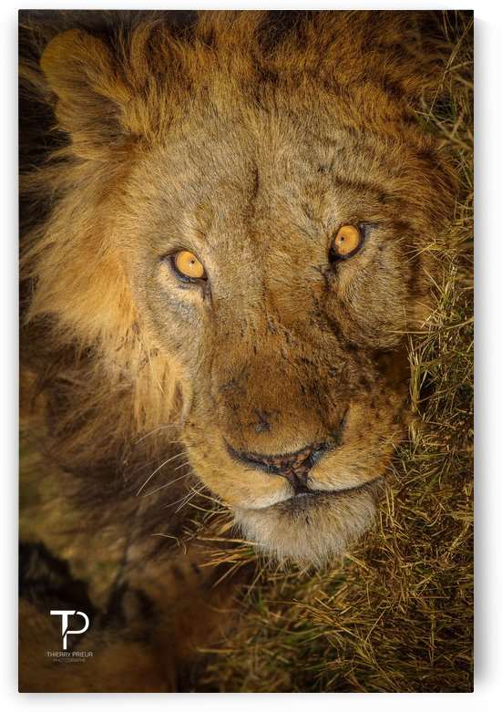 Portrait of a King by Thierry Prieur Photographie