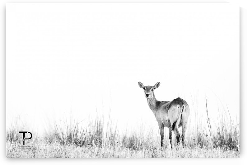 High Key with Lechwe by Thierry Prieur Photographie