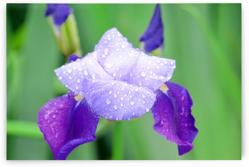 Iris Violet Flower with Waterdrops by Kikkia Jackson