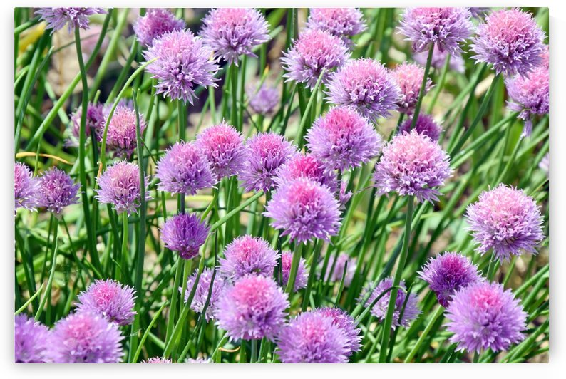 Chive Colorful Blossom Home Gardening and Planting by Kikkia Jackson