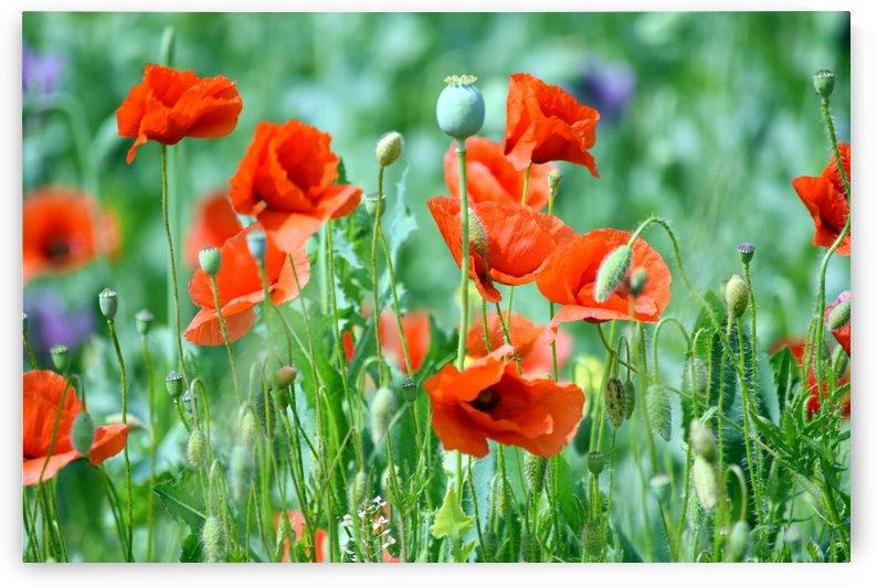 Red Poppy Field  by Kikkia Jackson