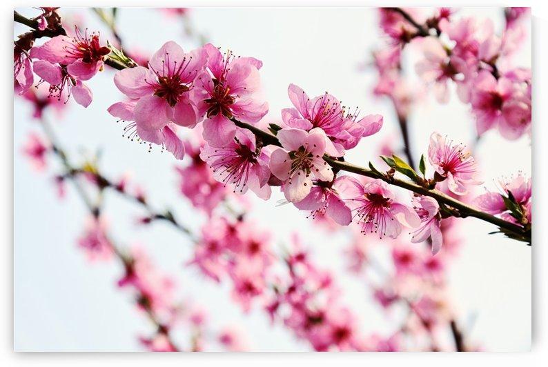 Peach Blossom Bloom Fruit Tree Pink Floral by Kikkia Jackson