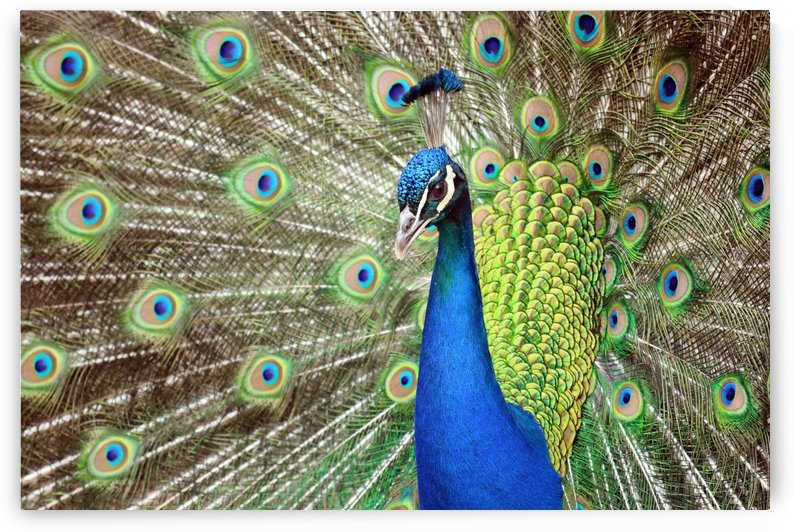 Peacock Beauty Pavo Cristatus with Outstretched Wings Portrait by Kikkia Jackson
