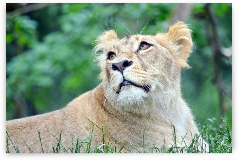 Cute Portrait of Katanga Lioness Watching Up by Kikkia Jackson