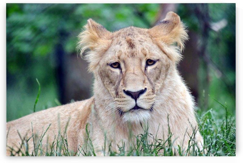 Cute Portrait of Katanga Lioness  by Kikkia Jackson