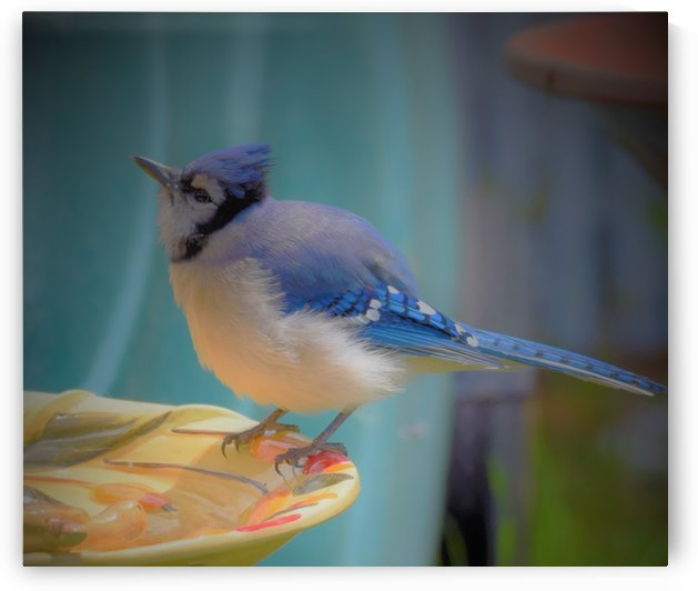 Geai bleu by Annie St-Pierre Artiste Photographie