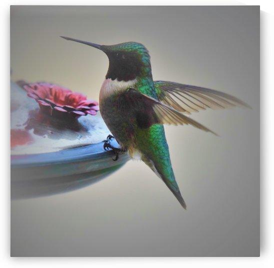 Colibris by Annie St-Pierre Photographie Artiste Photographe