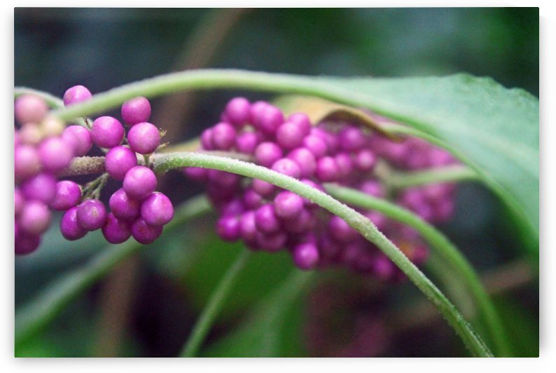 Beautyberry by Gods Eye Candy