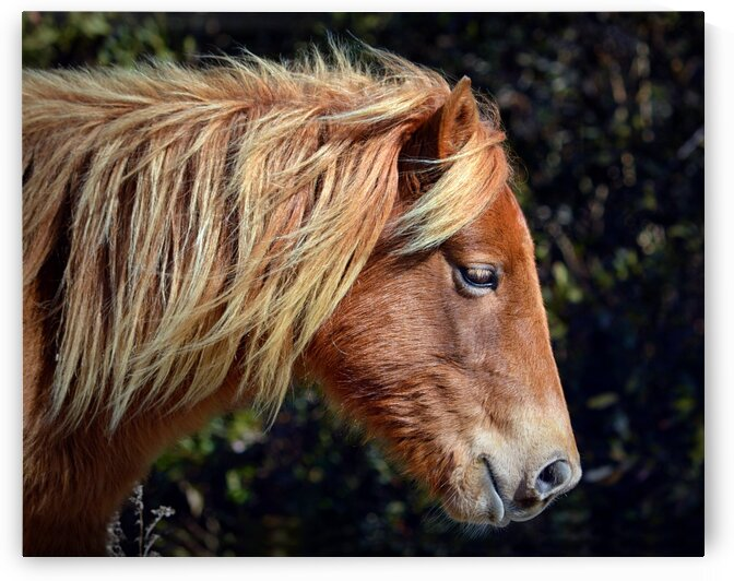 Assateague Pony Sarahs Sweet Tea Profile by Bill Swartwout Photography