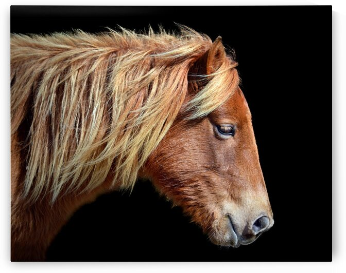 Assateague Pony Sarahs Sweet Tea On Black by Bill Swartwout Photography