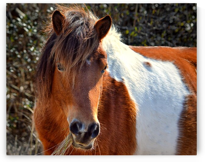 Assateague Pony Ms Macky by Bill Swartwout Photography