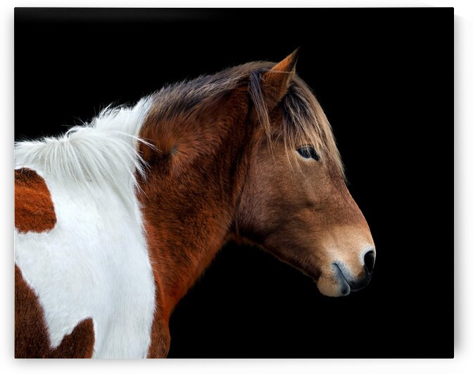 Assateague Pony Susi Sole Portrait On Black by Bill Swartwout Photography
