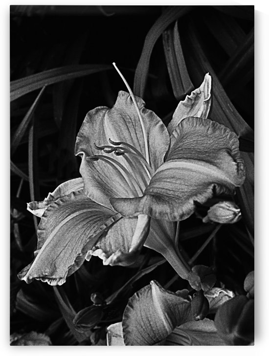 Daylily Bloom  In Black And White by ImagesAsArt By John Louis Benzin