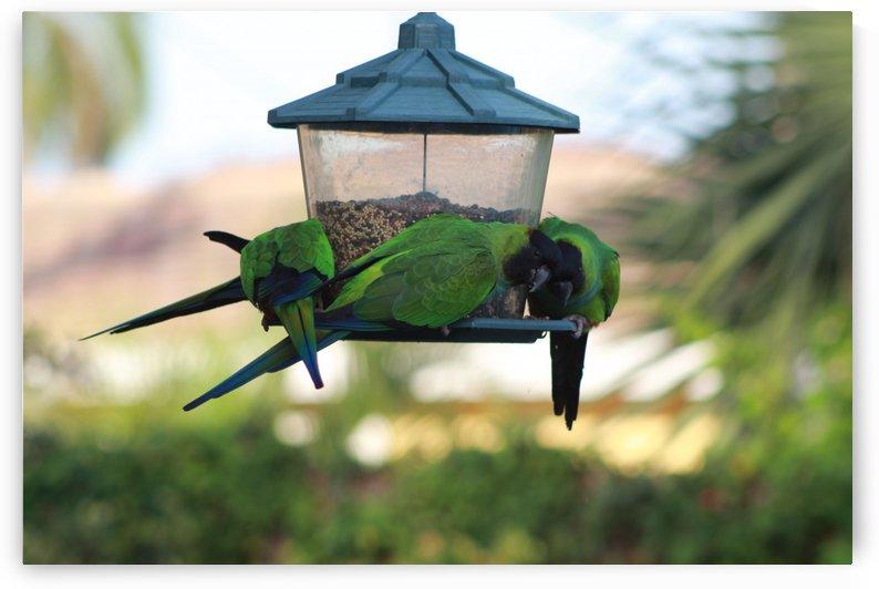 parrots by US JOHN