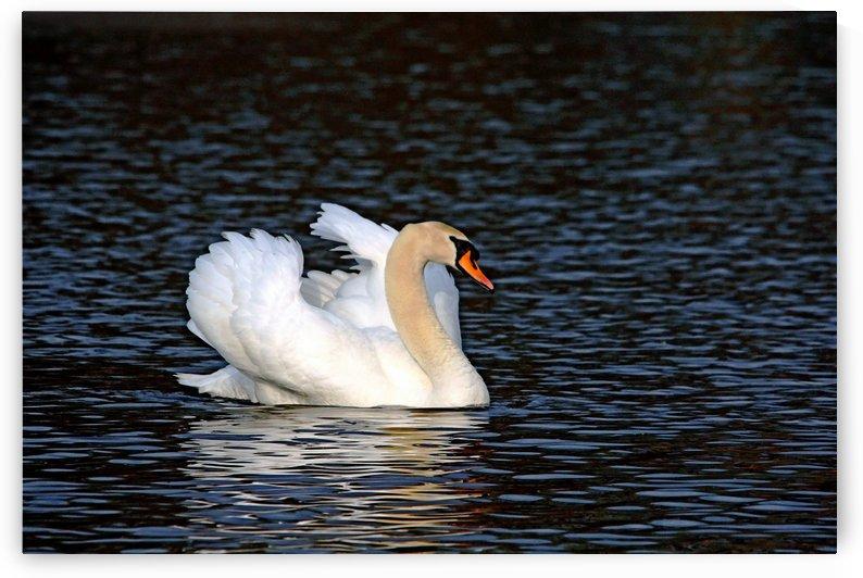 Demure Mute Swan by Deb Oppermann