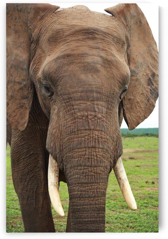 Elephant Portrait 32 by Thula-Photography