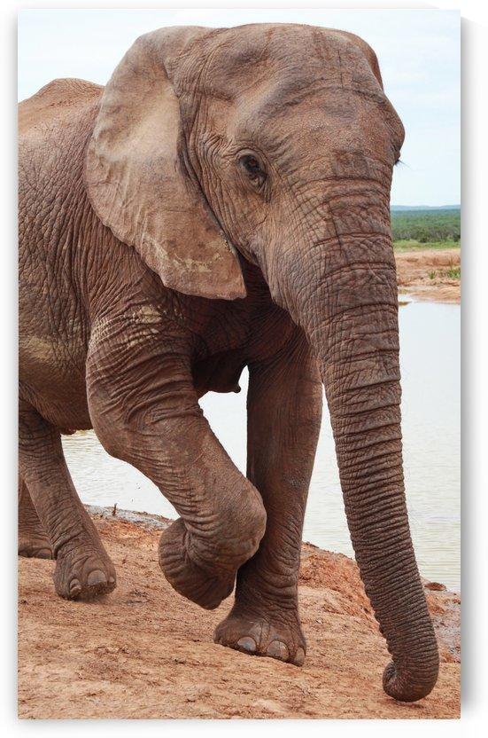 Elephant Portrait 699 by Thula-Photography