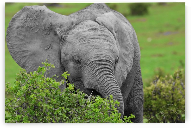 Elephant Baby ck 9932 by Thula-Photography