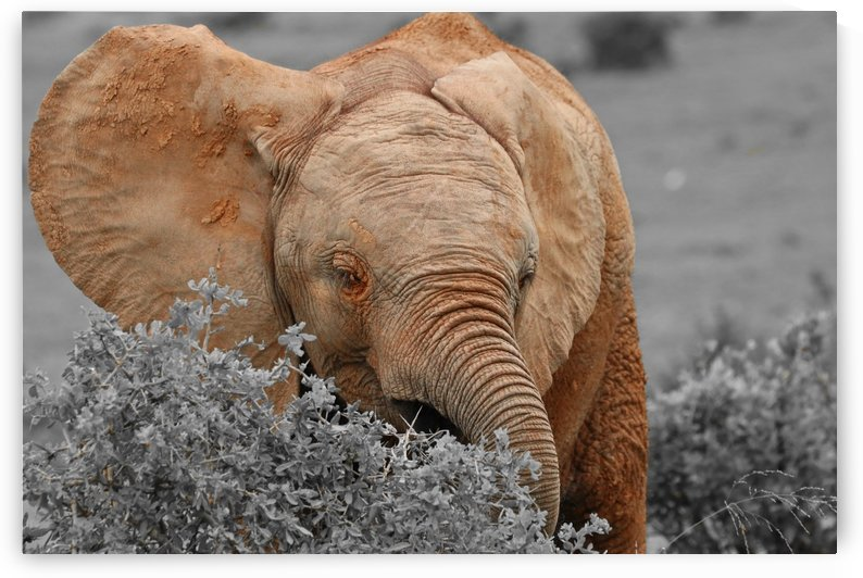 Baby Elephant ck 9932 by Thula-Photography