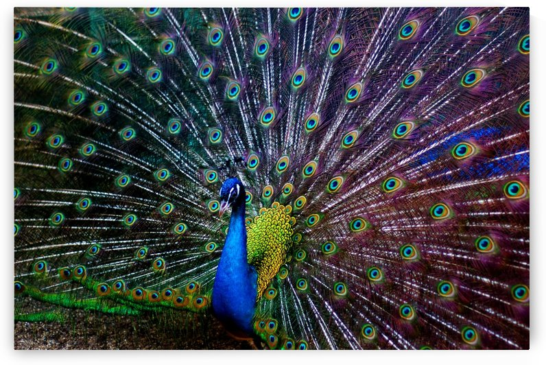 peacock colors bird colorful by Shamudy