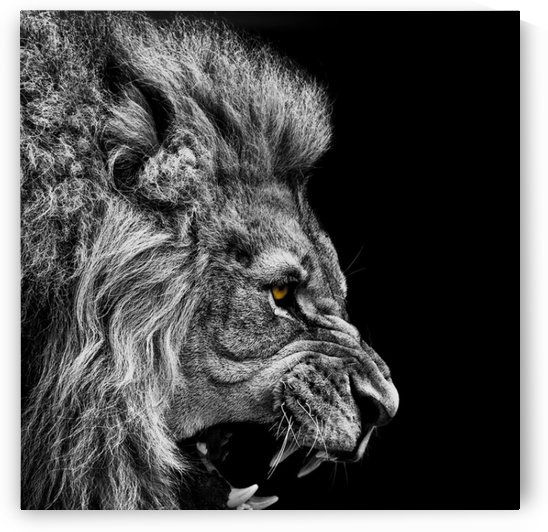 Angry male lion by Shamudy