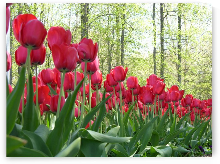 Beautiful Red Tulips Photography by Katherine Lindsey Photography