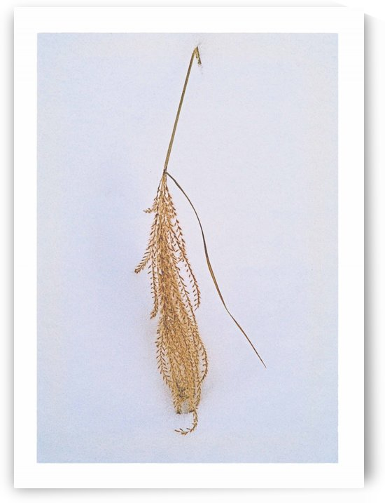 Ornamental Grass Frond In The Snow by ImagesAsArt By John Louis Benzin