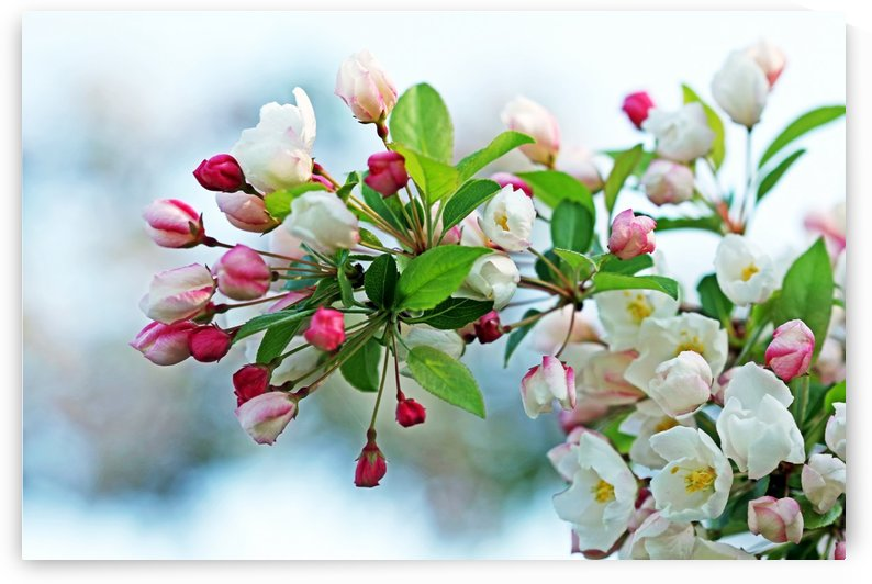 White Flowering Crabapple by Deb Oppermann