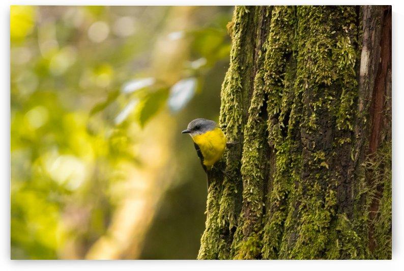 Yellow Robin by Joey Di Maggio
