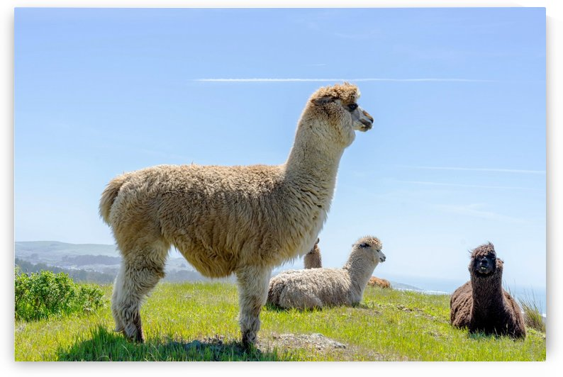 Alpaca Pack by Heather Huerta