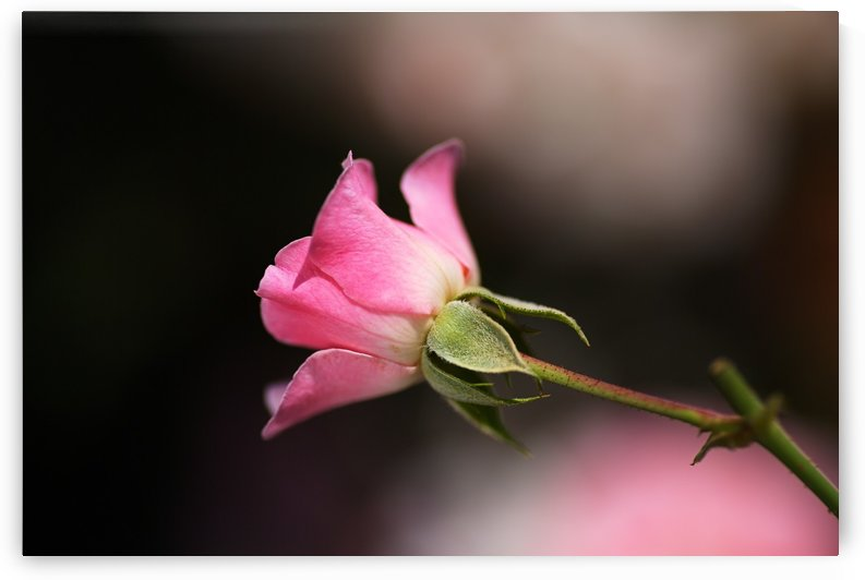Rose Bud Pink by Joy Watson