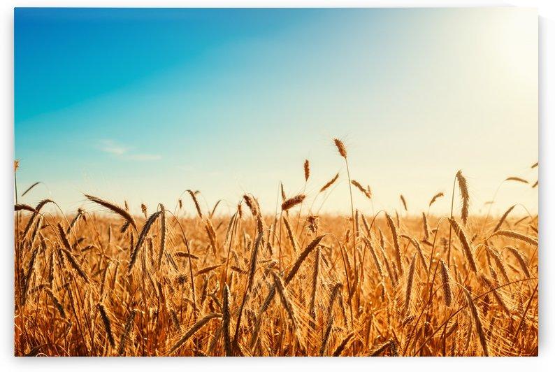 Wheat field by CyclopsfromHungary