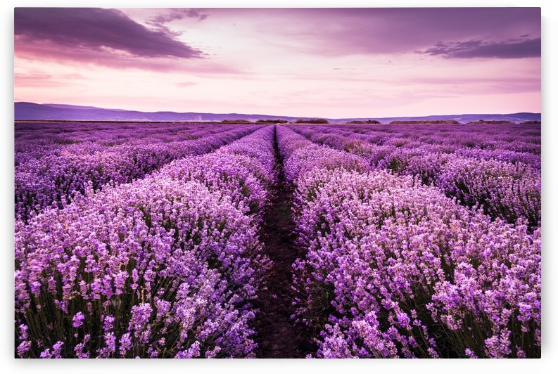 Lavender field by CyclopsfromHungary