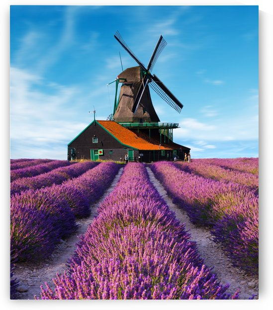 Lavender field in Netherland by CyclopsfromHungary