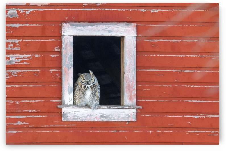 Great Horned Owl - Red Barn by Ken Anderson Photography