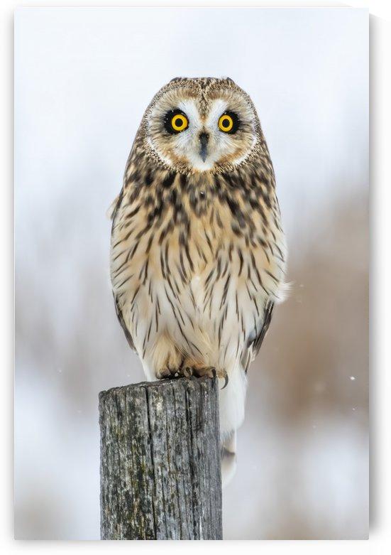 Short Eared Owl - Eyes wide open.   Alberta Canada by Ken Anderson Photography