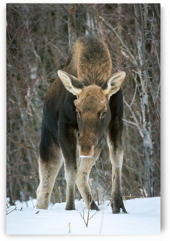 Mr. Moose by David Brophy