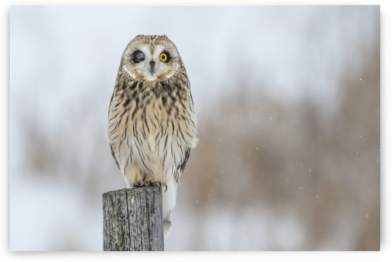 Short Eared Owl - Wink by Ken Anderson Photography