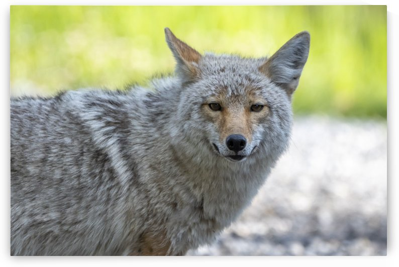 Coyote - Looking at you. by Ken Anderson Photography