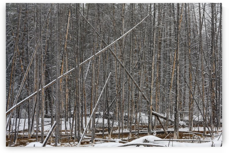 dead trees by Charles Ayars