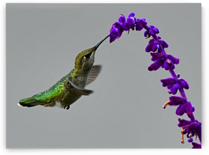 Hummingbird Arch by H.Hart Photography