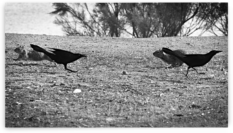 Squirrels and Crows in Opposite Directions by H.Hart Photography