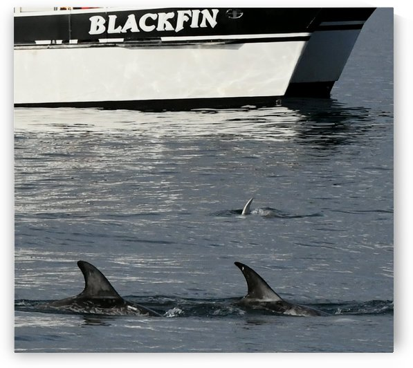 Blackfin by H.Hart Photography