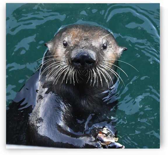 Otter Face by H.Hart Photography