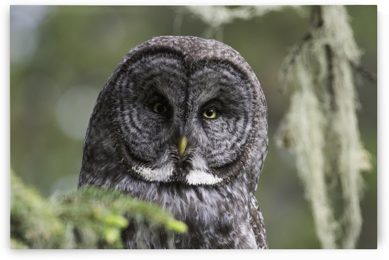 Great Grey Owl - Eye to Eye by Ken Anderson Photography