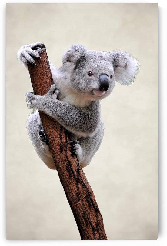 Koala. Animals. Panda. by Radiy Bohem