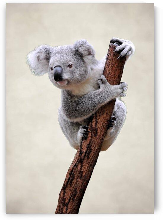 Koala. Animals. by Radiy Bohem
